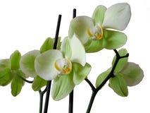 Orchidee 2 Royalty-vrije Stock Fotografie