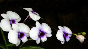 Orchidee Immagine Stock