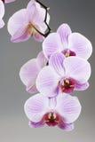 Orchidee Royalty-vrije Stock Afbeelding
