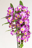 Orchidee Stockfotos