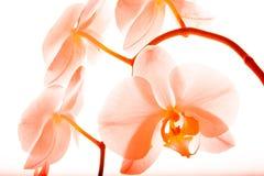 Orchidee 16 Lizenzfreies Stockfoto