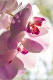 Orchidee Stockfotografie