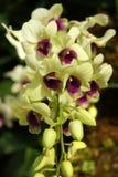 Orchidee 14 royalty-vrije stock afbeelding