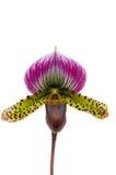 Orchidee stock afbeeldingen