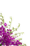 orchidee obraz royalty free