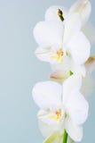 Orchidee. Stock Afbeeldingen