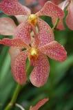 Orchidee 5 Royalty-vrije Stock Afbeeldingen