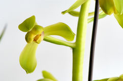 Orchidee Royalty-vrije Stock Foto