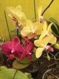 orchidee Zdjęcie Royalty Free