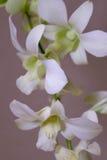 Orchidee Royalty-vrije Stock Foto's