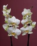 Orchidee Fotografia Stock Libera da Diritti