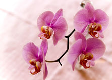 Orchidee Stock Image