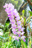 Orchidee Royalty-vrije Stock Afbeeldingen