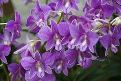 orchidee Fotografia Stock