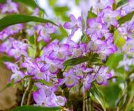 Orchidee Aerides Hänge-racemes mit vielen langlebigen, wohlriechenden, wächsernen Blumen mit purpurroten Rändern Stockbilder