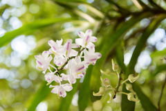 Orchidee: Aerides-Odorata Lour Lizenzfreies Stockfoto