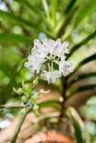 Orchidee: Aerides-Odorata Lour Stockfotos