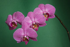 Orchidee auf Badekurort der grünen Tabelle Stockbilder