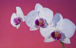 Orchidee auf Purpur Lizenzfreie Stockbilder