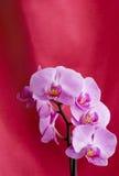 Orchidee auf rotem Hintergrund Lizenzfreie Stockfotos