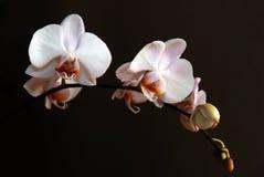 Orchidee auf schwarzem Hintergrund Lizenzfreie Stockfotos