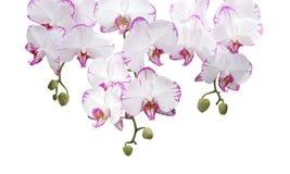 Orchidee auf Weiß Stockfotografie