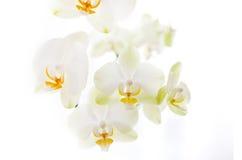 Orchidee auf weißem Hintergrund Stockfotos