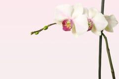 Orchidee auf zartem rosigem Tönungshintergrund mit freiem Raum für Text Stockfoto