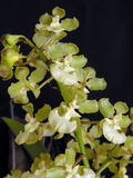 Orchidee: Aurisasinorum van Oncidium royalty-vrije stock fotografie