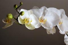 orchidee biały Obraz Stock