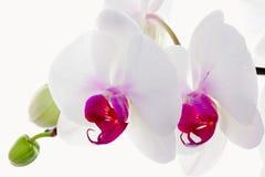 orchidee biały Obraz Royalty Free