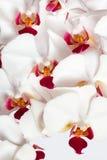 orchidee biały Fotografia Stock