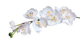 Orchidee bianche fotografia stock libera da diritti