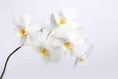 Orchidee bianche Fotografie Stock