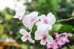 Orchidee bianche Fotografie Stock Libere da Diritti