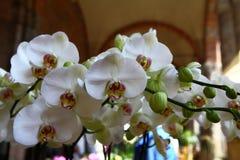 Orchidee bianche Fotografia Stock