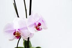 Orchidee bianche fotografie stock