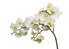 Orchidee bianche con i mezzi gialli isolati su bianco Fotografia Stock