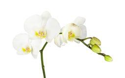 Orchidee bianche con i mezzi gialli isolati su bianco Immagini Stock