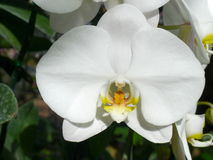 Orchidee bianche di /Tropical delle orchidee Fotografia Stock Libera da Diritti