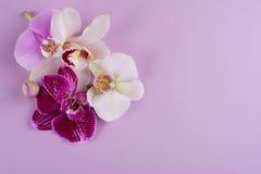 Orchidee bianche e bianche di porpora ed isolate su fondo bianco Fotografie Stock