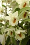 Orchidee bianche ed arancio della foresta Fotografie Stock