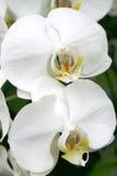 Orchidee bianche molli Immagini Stock
