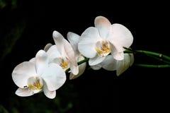 Orchidee bianche naturali su un fondo scuro Immagine Stock Libera da Diritti