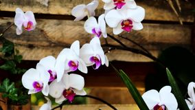 Orchidee bianche nel giardino stock footage