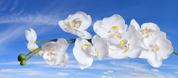 Orchidee bianche sopra cielo blu Immagine Stock Libera da Diritti
