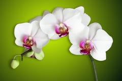 Orchidee bianche su verde di pendenza Immagini Stock Libere da Diritti
