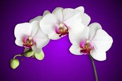 Orchidee bianche sulla porpora di pendenza Fotografia Stock Libera da Diritti