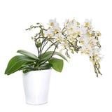 Orchidee bianche in vaso Fotografia Stock