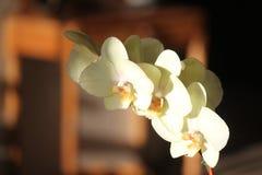 Orchidee bianco panna alla luce di tramonto fotografie stock libere da diritti